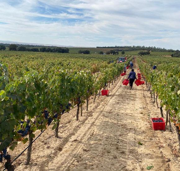 Harvest at Bela. Villalba de Duero, Burgos